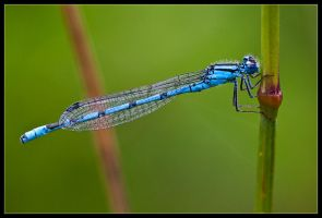 Blue Damsel at the Lake by Wivelrod