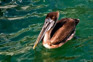A wondrous bird is the pelican by quintmckown