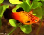Sunset Wag Platy By Sueweetie-dc90hpy by Yamio