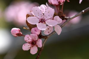 Yet another wild cherry blossom by OfTheDunes