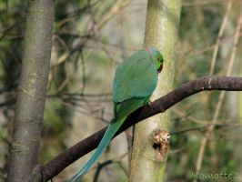 Shy Indian parrot by Momotte2