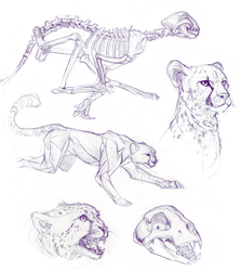 Animal-studies Cheetahs by catghost