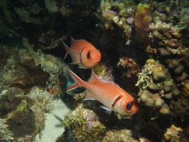 Squirrelfish Pair by Meagharan