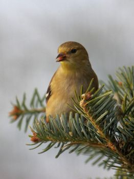 Goldfinch by barcon53