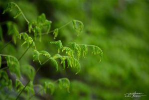 Oak fern 1 by themanitou