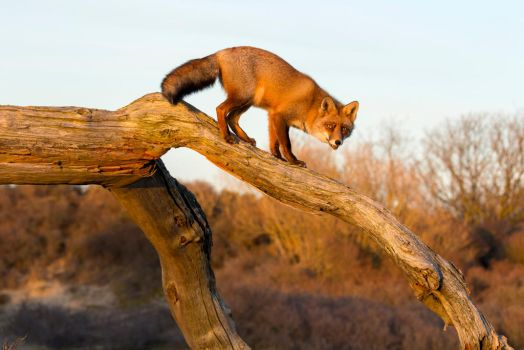 Red Fox on a Tree on a Sunny Day by AngelaLouwe