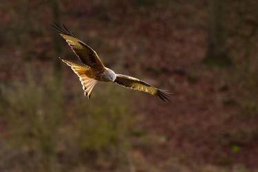 Red Kite 1 by DaBeanz