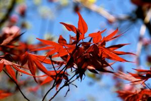 Japanese Maple by minamiko