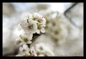 White Flowers by Exen