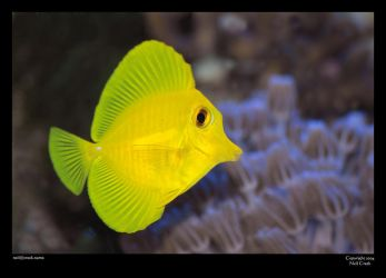 Sol, the Yellow Tang by neilcreek