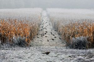 Where they live pheasants by tomsumartin