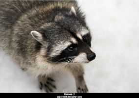 Racoon .2 by PaPeRDoLLLL