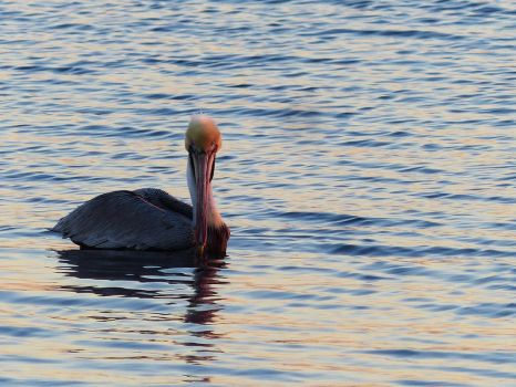 SunsetPelican by ecfield