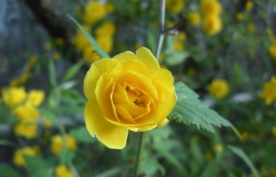 Yellow Flowers 0700 by Aazari-Resources