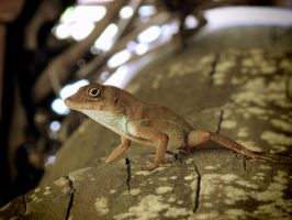 Large-Headed Anole Inside a Hut Roof by KMourzenko