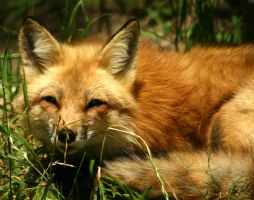 Red Fox by SteelCowboy
