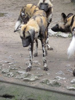 Floppy African Wild Dog by Mouselemur