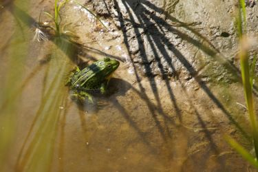 Frog by FreeRoler