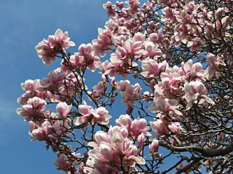Beautiful Magnolia Tree by Michies-Photographyy