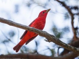 Male Summer Tanager by rctfan2