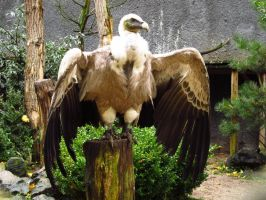 Griffon Vulture - Wings Stock4 by xCrystals