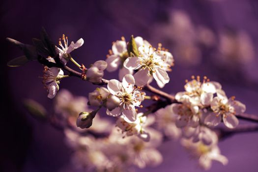 Prunus by Creamia
