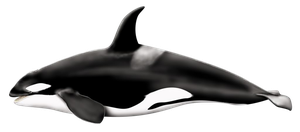 Orcinus Orca PNG by LG-Design