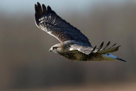 Rough legged Hawk - Glide by JestePhotography