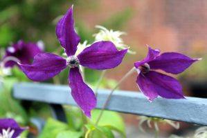 clematis in august by minamiko