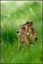 Young Muntjac Deer II by nitsch