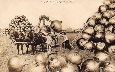 A Big Onion Harvest by Yesterdays-Paper