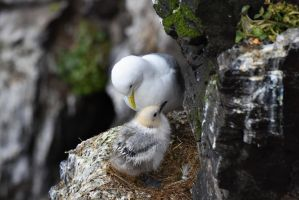 A Kittiwake and Her Chick by WildCodyPhotography
