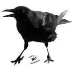Cut-out stock PNG 29 - funny crow by Momotte2stocks