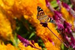 Painted Lady 1 by BlackRoomPhoto