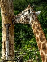 The Kiss of the Giraffe by pingallery