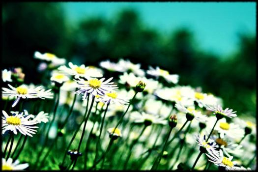 Daisies by frogwah