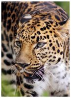 Leopard 027 by ShineOverShadow