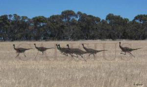 struthiomimus pack on the run by Calisius