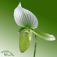 Green Orchid by FauxHead