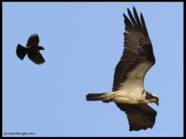 Osprey Harassment by EWilloughby