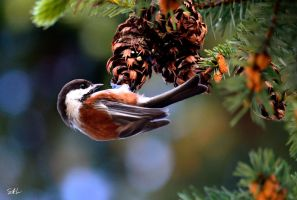 Chestnut-backed Chickadee by AzureWindProductions