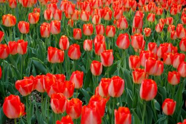 Tiptoe through the tulips by OcularFracture