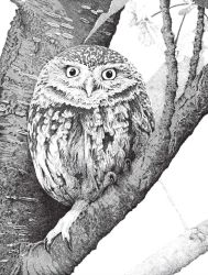 Little Owl by mk-thommo