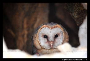 Barn Owl Stare by TVD-Photography