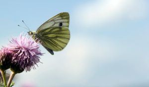 The Green Veined White Butterfly by Glenn0o7