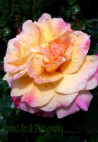Rainkissed Rose by Deb-e-ann