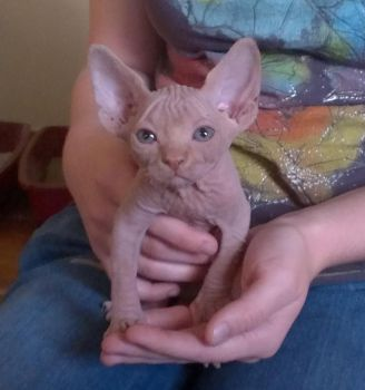 Playing with Sphynx Babies by HMS-ArtHound