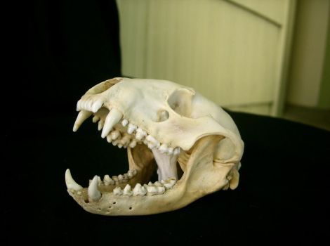raccoon 04: skull by cyborgsuzystock