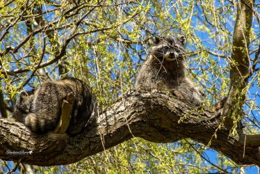 Racoons in tree by gigi50