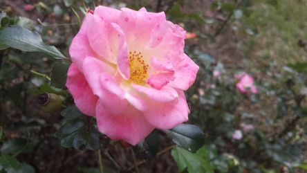 December Rose by Bonnie-L-Price